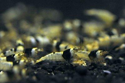 画像1: 黒ビー ミドルグレード 日の丸・モスラMIX (10匹/約14mm)