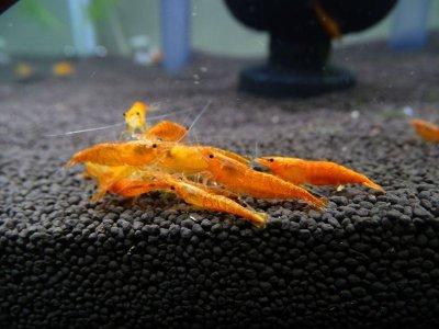 画像3: チェリーシュリンプ オレンジチェリー 10匹 死着補償サービス+2匹