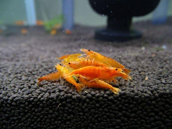 画像1: チェリーシュリンプ オレンジチェリー 5匹 死着補償サービス+1匹 (1)