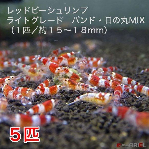 画像1: レッドビーシュリンプ ライトグレード バンド・日の丸MIX(5匹/15〜18mm前後)死着補償サービス+1匹 (1)