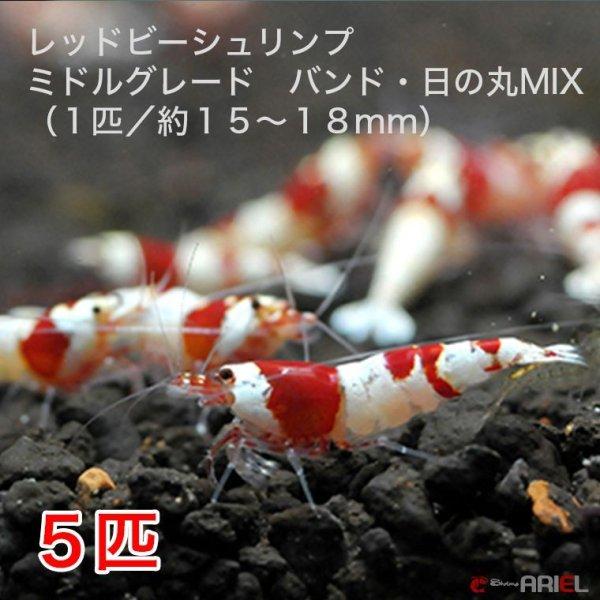 画像1: レッドビーシュリンプ ミドルグレード バンド・日の丸MIX(5匹/15〜18mm前後)死着補償サービス+1匹 (1)