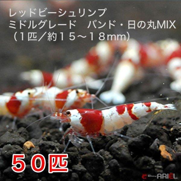画像1: レッドビーシュリンプ ミドルグレード バンド・日の丸MIX(50匹/15〜18mm前後)死着補償サービス+5匹 (1)