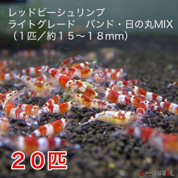 画像1: レッドビーシュリンプ ライトグレード バンド・日の丸MIX(20匹/15〜18mm前後)死着補償サービス+2匹 (1)
