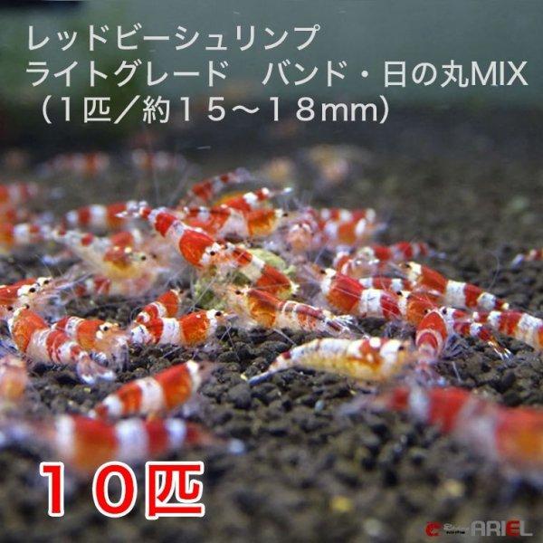 画像1: レッドビーシュリンプ ライトグレード バンド・日の丸MIX(10匹/15〜18mm前後)死着補償サービス+2匹 (1)