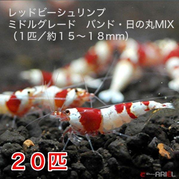 画像1: レッドビーシュリンプ ミドルグレード バンド・日の丸MIX(20匹/15〜18mm前後)死着補償サービス+2匹 (1)
