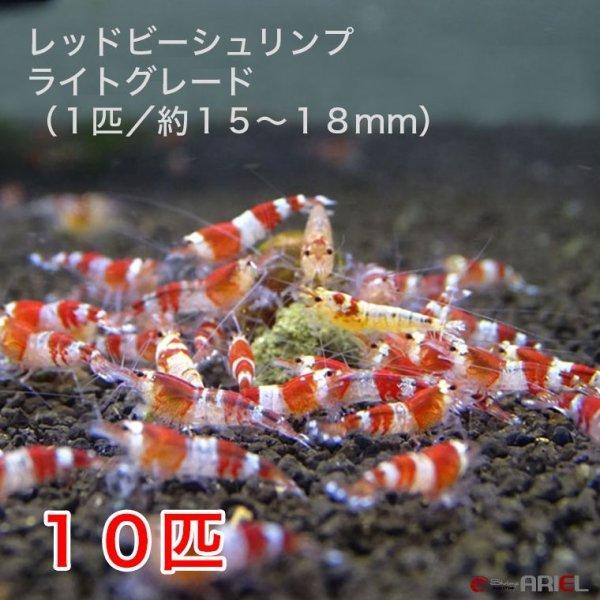 画像1: レッドビーシュリンプ ライトグレード(10匹/15〜18mm前後)死着補償サービス+2匹 (1)