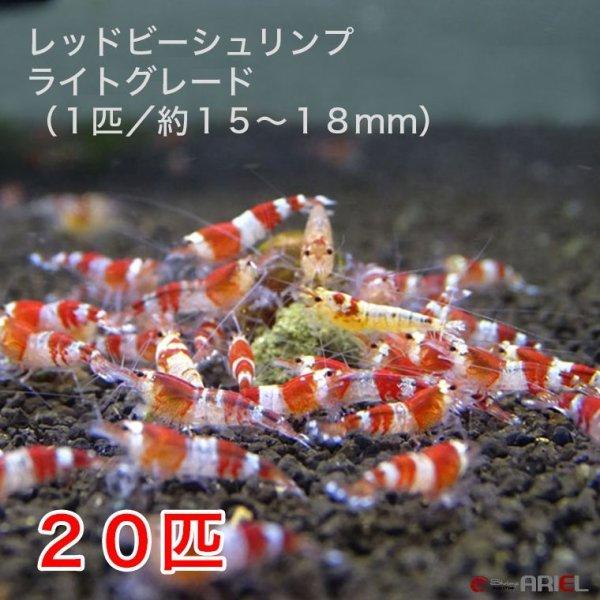 画像1: レッドビーシュリンプ ライトグレード(20匹/15〜18mm前後)死着補償サービス+2匹 (1)