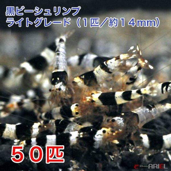 画像1: 黒ビー ライトグレード(50匹/約14mm)+死着保証5匹 (1)