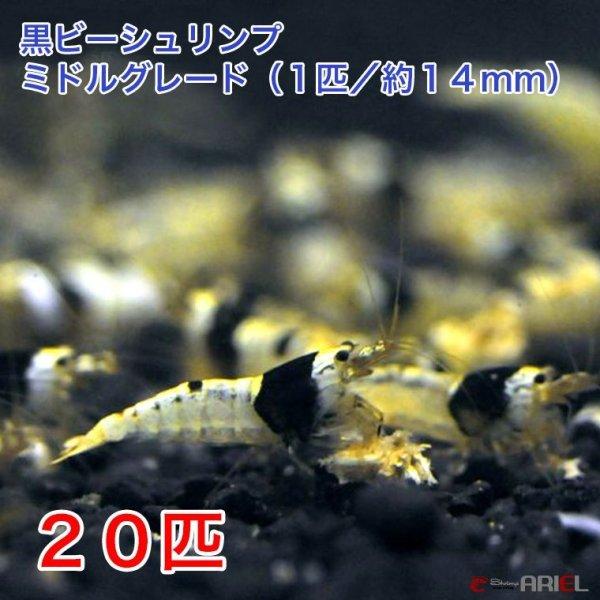 画像1: 黒ビー ミドルグレード (20匹/約14mm)+死着保証2匹 (1)