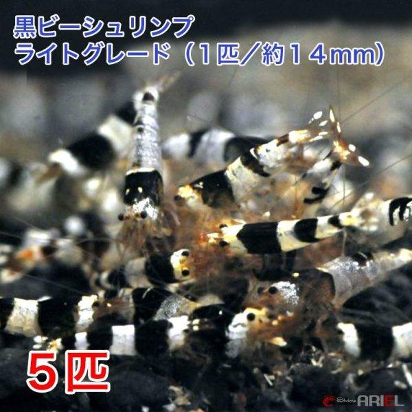 画像1: 黒ビー ライトグレード (5匹/約14mm)+死着保証1匹 (1)