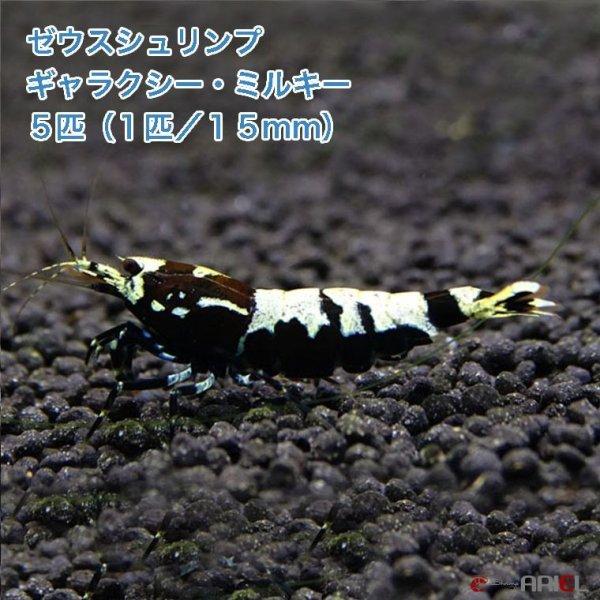 画像1: ゼウスシュリンプ  ギャラクシー・ミルキー  5匹(1匹/約1.5cm) (1)