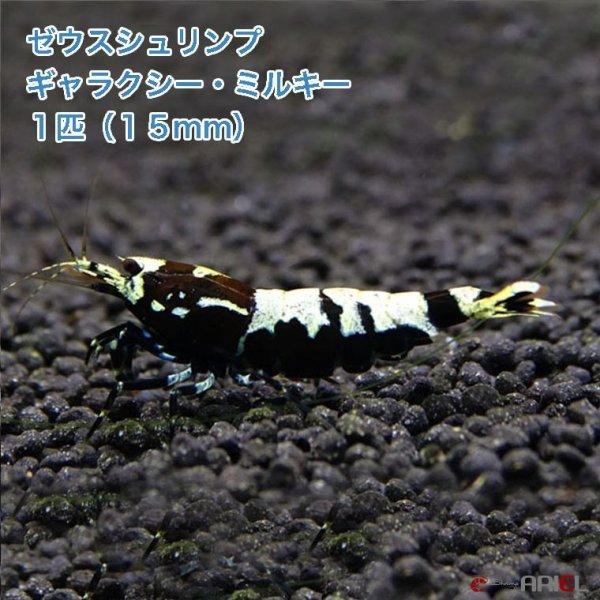 画像1: ゼウスシュリンプ  ギャラクシー・ミルキー  1匹(1匹/約1.5cm) (1)